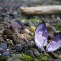 mussel-2610332_640