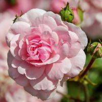 rose-1610932_640